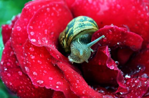 Snail on wet rose petals